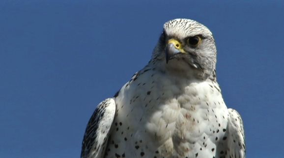 In_the_Realm_of_the_Gyr_Falcon_still2