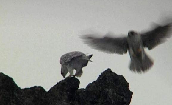 In_the_Realm_of_the_Gyr_Falcon_still3